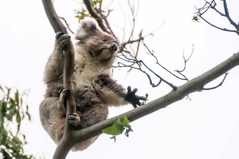 Koala on a tree in Victoria, Australia