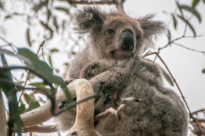 Koala on a tree in Victoria, Australia