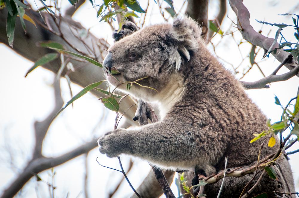 Koala in a Eucalyptus Tree, Australia