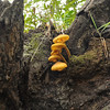 Yellow Navel Fungus<br /> <br /> Omphalina chromacea