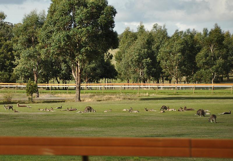 Napping kangaroos on a sports ground<br /> <br /> Henyélő kenguruk a sportpályán