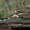 Jelly fungi (Tremella fuciformis)<br /> <br /> Fehér fafül gomba - Ezüst rezgőgomba