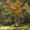 Deciduous tree - there is not so many in Australia<br /> <br /> Lombhullató fa - nem sok van belőle Ausztráliában