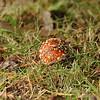 Fly agaric (Amanita muscaria)<br /> <br /> Légyölő galóca