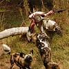 African wild dog (not hyena!)<br /> <br /> Afrikai vadkutya (nem hiéna!)