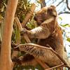 Koala<br /> - <br />