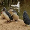 Penguins<br /> <br /> Pingvinek
