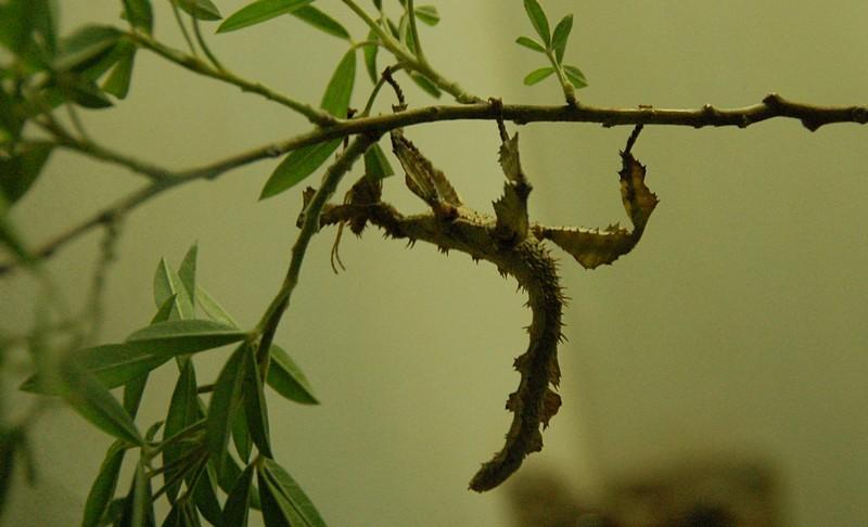 A kind of mantis<br /> <br /> Sáskaféle