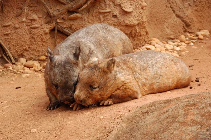 Wombats<br /> <br /> Vombatok