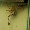 Huntsman spider<br /> <br /> Huntsman pók