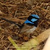 Blue fariy wren<br /> <br /> Lazúr tündérmadár