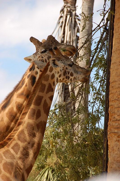 Giraffes<br /> <br /> Zsiráfok