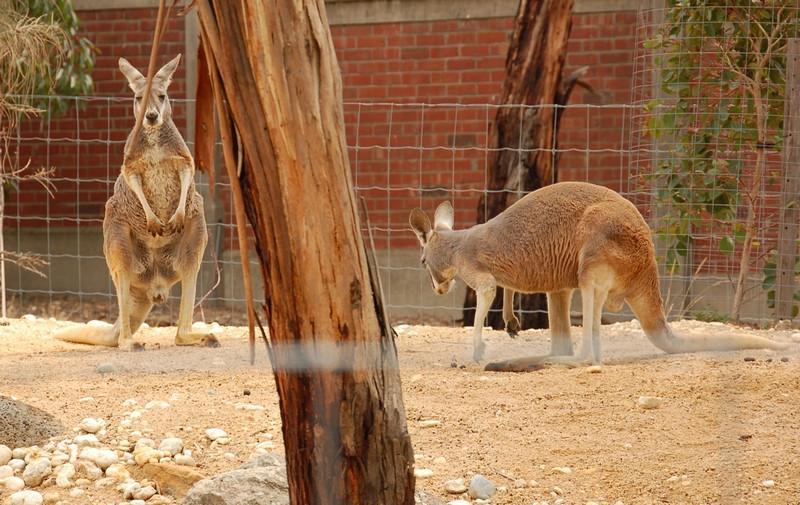 Red kangaroo<br /> <br /> Vörös kenguru