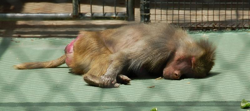 Sleeping monkey<br /> <br /> Alvó majom