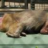 Sleeping monkey<br /> <br /> Alvó majom