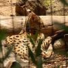Wild cat<br /> <br /> Vadmacska
