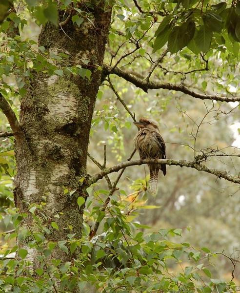 Kookaburra<br /> - <br />