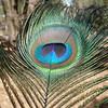 Peacock feather<br /> <br /> Páva toll