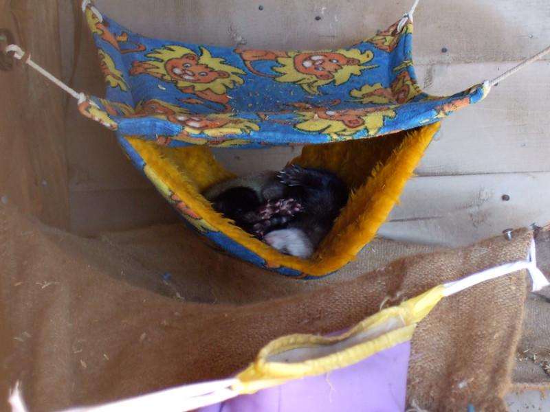 Ferret on Churchill island<br /> <br /> Görény a Churchill szigeten