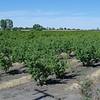 Nectarine orchards. This area is known about stone fruits and grape fields.<br /> <br /> Nektarin ültetvény. Ez a terület híres csonthéjas és szőlőtermesztő vidék.
