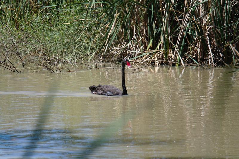 Black swan<br /> <br /> Fekete hattyú