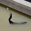 Fishing cormorant<br /> <br /> Halászó kormorán
