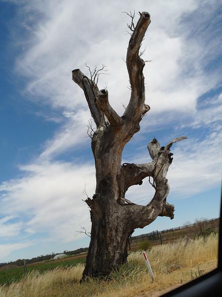 """Ring tree - Lower branches of a young tree were twisted together to form a """"ring"""" to mark tribal boundaries<br /> <br /> Gyűrű fa - A fiatal fa alsó ágait az őslakosok összecsavarták, hogy gyűrűt képezzen, így jelezték a törzsük határait"""