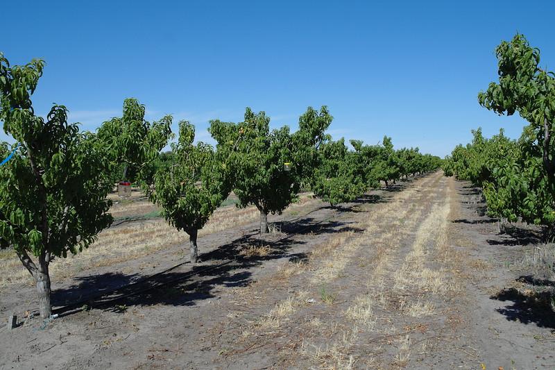 Nectarine orchards<br /> <br /> Nektarin ültetvény