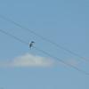 Sacred Kingfisher<br /> <br /> Ausztrál jégmadár