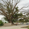 The Burke and Wills tree (Moreton bay fig)<br /> <br /> A Burke and Wills fa (Nagylevelű fikusz fa)