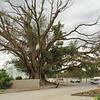 The Burke and Wills tree (Moreton bay fig)<br /> <br /> A Burke and Wills fa (Nagylevelű fikusz fa)