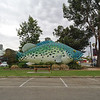 The Big cod at Swan Hill<br /> <br /> A nagy sügér Swan Hillnél