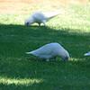 Little corellas<br /> <br /> Csupaszszemű kakaduk