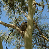 Koala at Tower Hill <br /> <br /> Koala Tower Hillnél