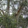 Koala at Mt Eccles<br /> <br /> Koala az Eccles hegynél