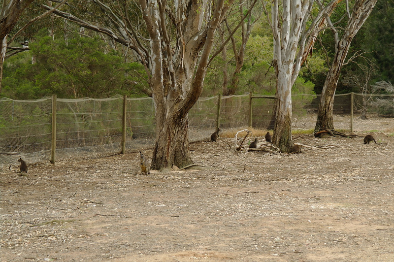 Wallabies at Serendip Sanctuary <br /> <br /> Wallabik a Serendip parkban