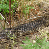 Shingleback Lizard<br /> <br /> Kurtafarkú gyík