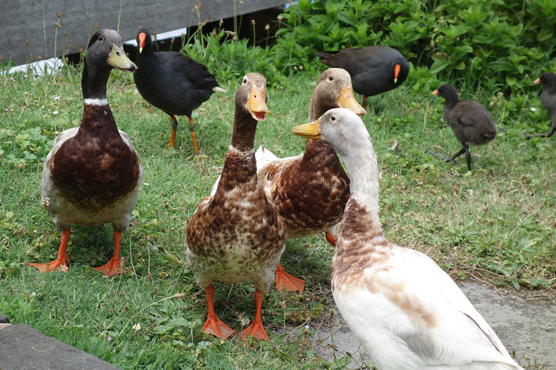 Ducks of Flagstaff Hill<br /> <br /> Flagstaff domb kacsái