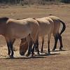Wild horses, approaching them is not recommended<br /> <br /> Vadlovak, melyek közelébe menni nem tanácsos