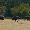 Buffalos<br /> <br /> Bölények