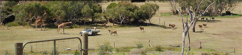 The left giraffe was partly over the fence and the keepers tried to make it remove with food<br /> <br /> A gondozók a bal szélső zsiráfot szerették volna elcsalogatni a kerítéstől