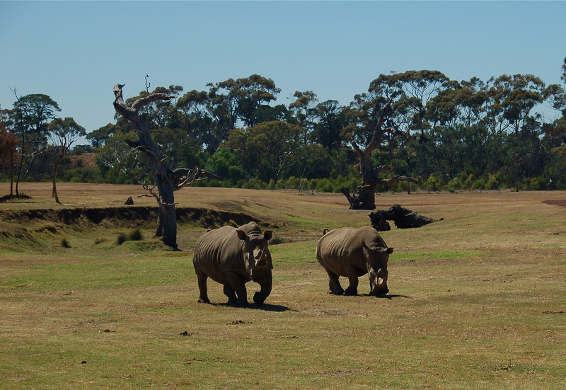 Rhinos<br /> <br /> Orrszarvúk