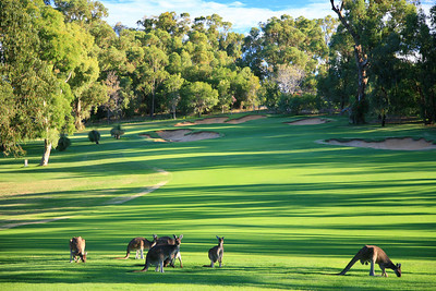 Lake Karrinyup_01Kangaroos_5727