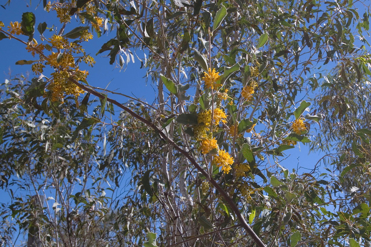 Flowering Tree, Purnululu National Park - Western Australia