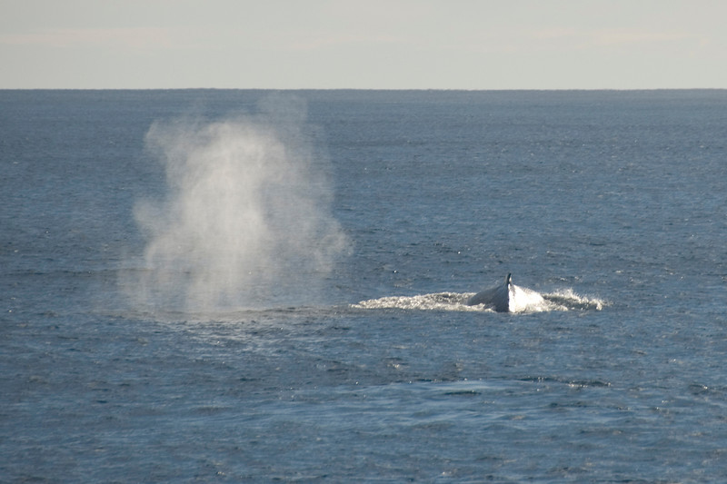 Two Humpback Whales on Surface 2 - Exmouth, Western Australia