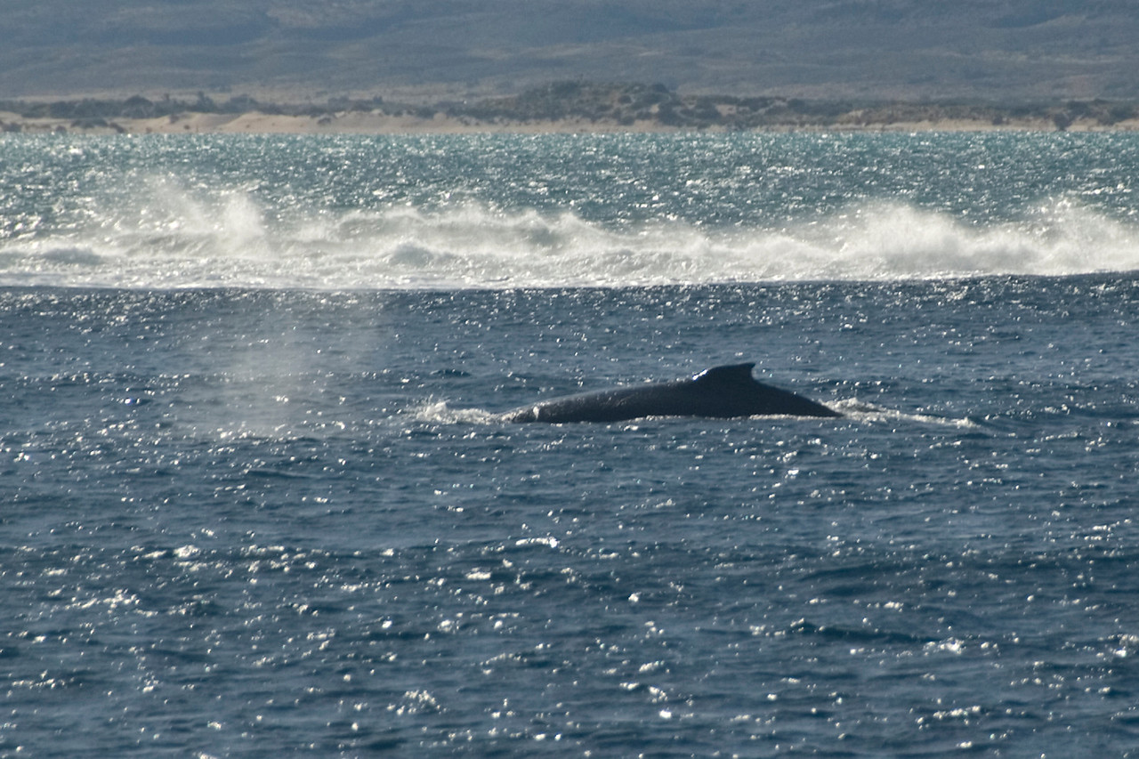 Whale at Surface - Exmouth, Western Australia
