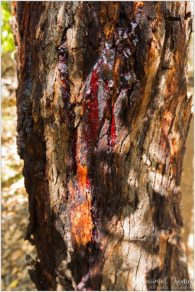 This is not a crime scene but the red sap