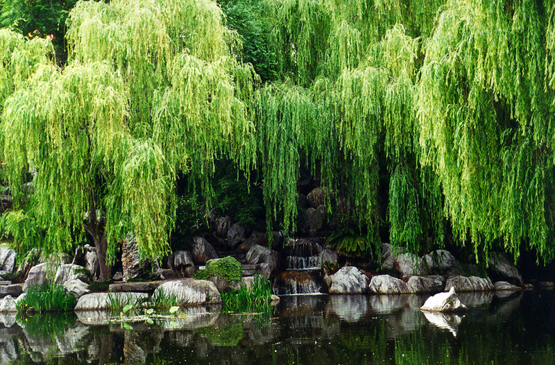 2000_Sydney_Garden_Willow