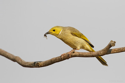White-plumed Honeyeater