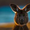 Kangaroo Island Western Gray Kangaroo